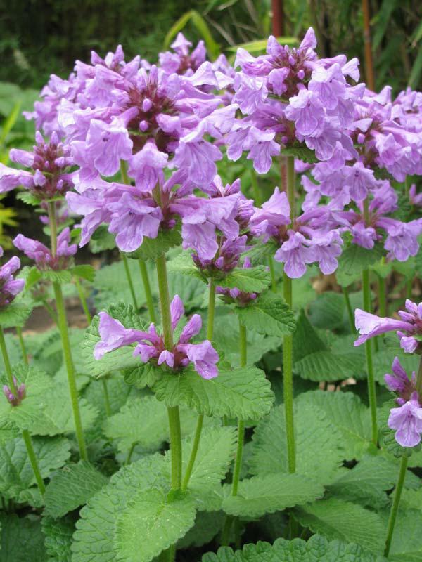 Буквица крупноцветковая семена